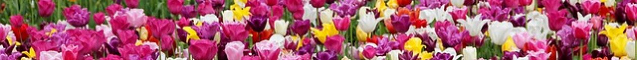 Wholesale Tulip Bulbs and Hyacinth Bulbs Bring Life to Your Garden